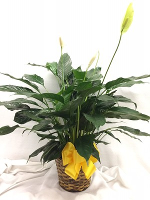 "8"" Peace Lilly Plant"