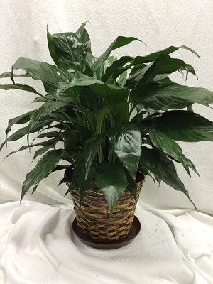 "6"" Peace Lilly Plant Basket"